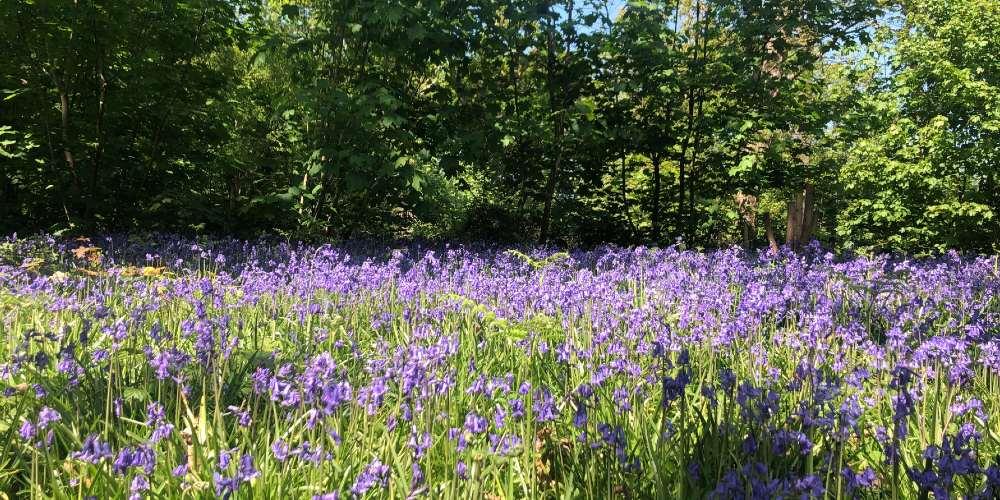 Visit Milford on Sea bluebells at Great Newbridge Copse