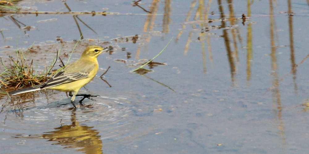 Visit Milford on Sea Yellow Wagtail at Sturt Pond